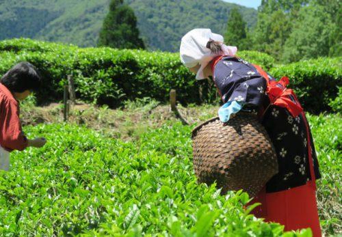 【終了】5月20日開催 こだかみ茶収穫祭!お茶つみ&製茶体験