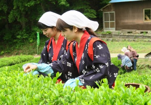 こだかみ茶 2020新茶できました。 在来種のお茶をお楽しみください!