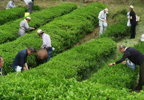 己高茶 収穫祭中止のお知らせ